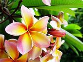 Plumeria (frangipani) flower close