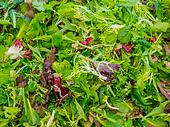Baby mixed salad greens