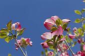 magnolia in the garden