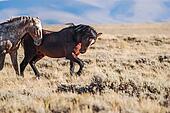 Wild Stallions Posturing