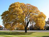 Old autumn tree