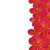Pink Frangipani With Border