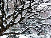 Snowfall and tree