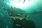 Shark and fish shoal