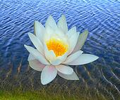 One water lily
