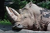 Lazy Rhino