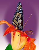 Monarch w/tiger Lily