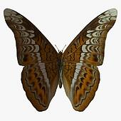 Butterfly-Admiral