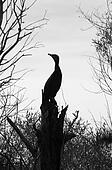 Silhouette of a stork