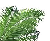 Green palm leaf isolated on white b