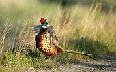 A male pheasant crowing