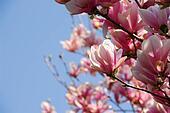 Blooming magnolia