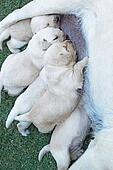 Labrador puppies sucking milk from mother dog breast.
