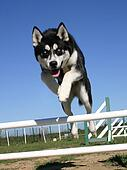 jumping puppy husky