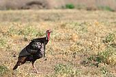 Tom Turkey Male Game Bird Wild