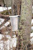 New England Maple Sugar Tapping