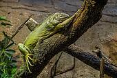 Iguana sleeping.