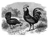 Rooster and Hen Andalusian, vintage engraving.