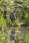 Great Blue Heron In Marsh