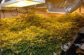 Illegal Cannabis Factory