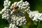 Yarrow blossom with bee