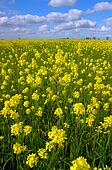 Mustard Flowers, White Clouds