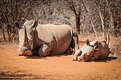 White rhino laying with baby Rhino