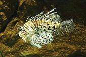 Lyon fish