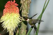 humming Bird hovering 2