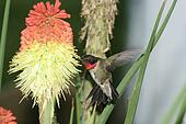 humming Bird hovering 4