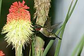 humming Bird hovering 5