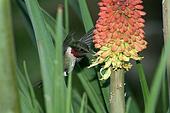 humming Bird hovering 6