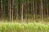 Eucalyptus Trees Hawaii