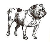 illustration of english bulldog
