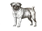 illustration of pug