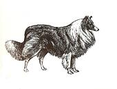 illustration of collie