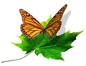 Butterfly Lands on Maple Leaf