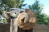 Ram\\\'s skull