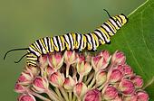Monarch caterpillar on milkweed buds