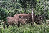 White Rhino and Baby