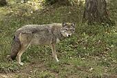 Single Coyote