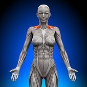 Trapezius Front / Neck Muscles - Fe