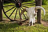 cow skull and wheel