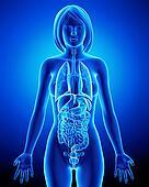 Female body all organs anatomy
