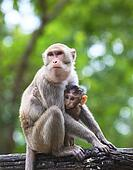 monkey mother and baby in hugginh breast