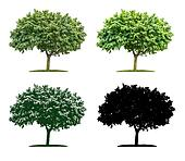 Tree in four different illustration techniques - Maple Tree