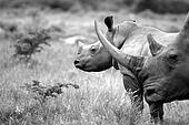 Rhinoceros / rhino and baby
