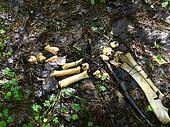 Bones of the bear. Parasites.