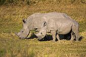 Mother, Baby White Rhino