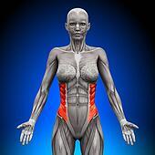 External Oblique - Female Anatomy M